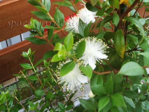植栽 庭木 常緑樹 ギンバイカ 花