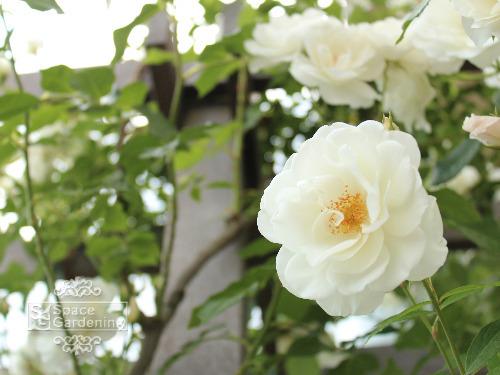 植栽 バラ