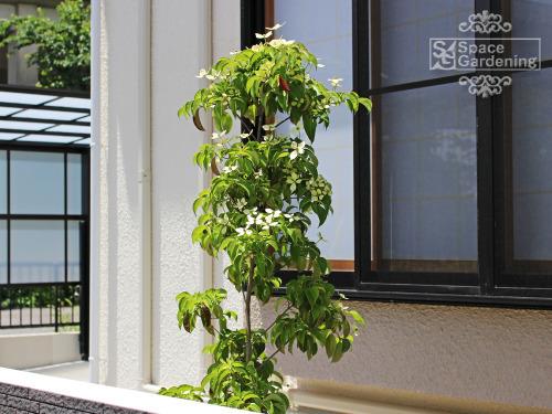 植栽 シンボルツリー 常緑樹 ホンコンエンシス