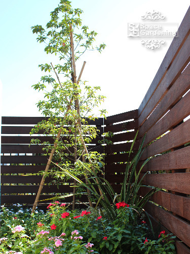庭木 常緑樹 ホンコンエンシス