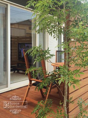 庭木 常緑樹 シマトネリコ シンボルツリー