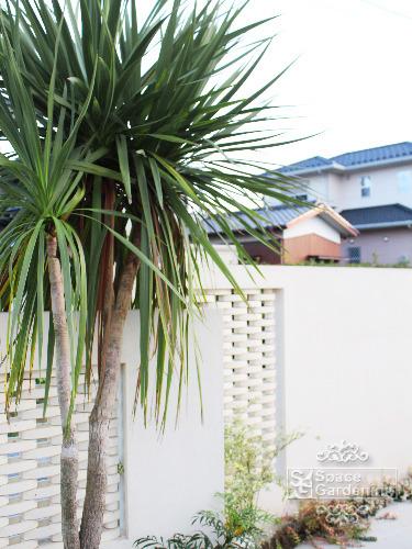 庭木 常緑樹 ドラセナ
