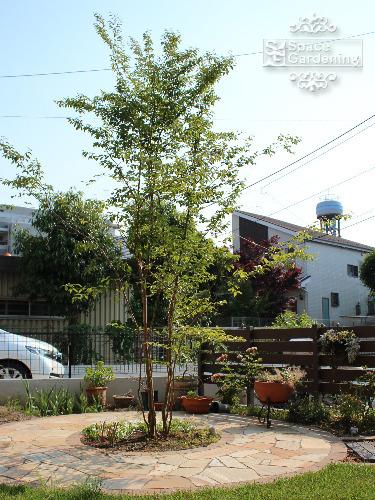 シンボルツリー 落葉樹 ヒメシャラ