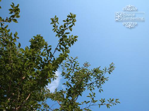 落葉樹 ヒメシャラ