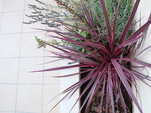 植物 コルジリネ