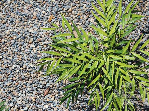 植栽 下草 マホニアコンヒューサー