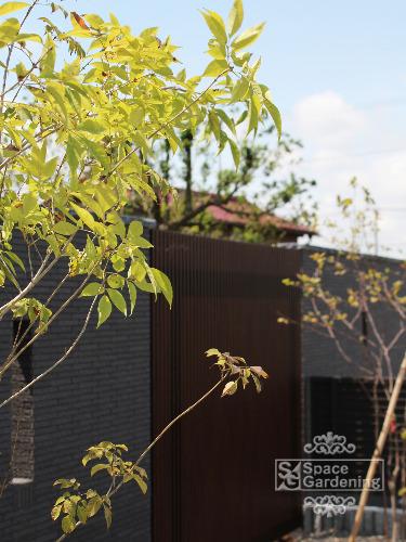 庭木 落葉樹 アオダモ