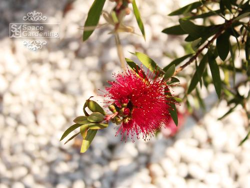常緑樹 ブラシノキ 花