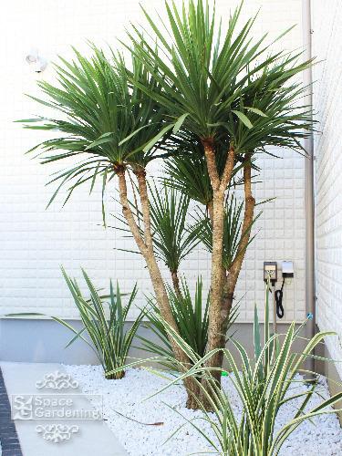 植栽 リゾート 常緑樹 ドラセナ