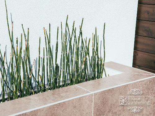 植栽 下草 トクサ