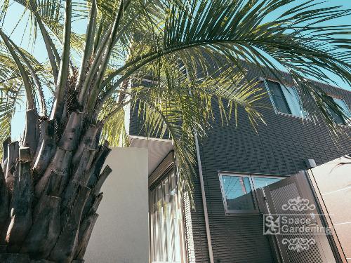 シンボルツリー 常緑樹 ココスヤシ