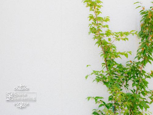 植栽 落葉樹 エゴノキ