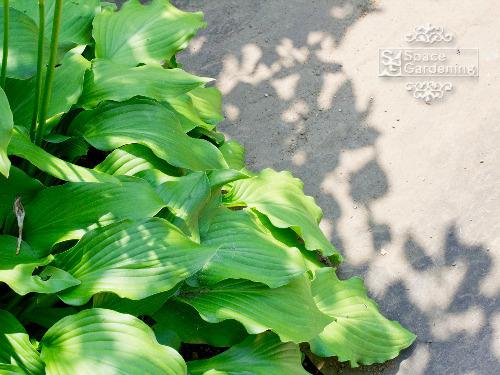 植栽 ギボウシ
